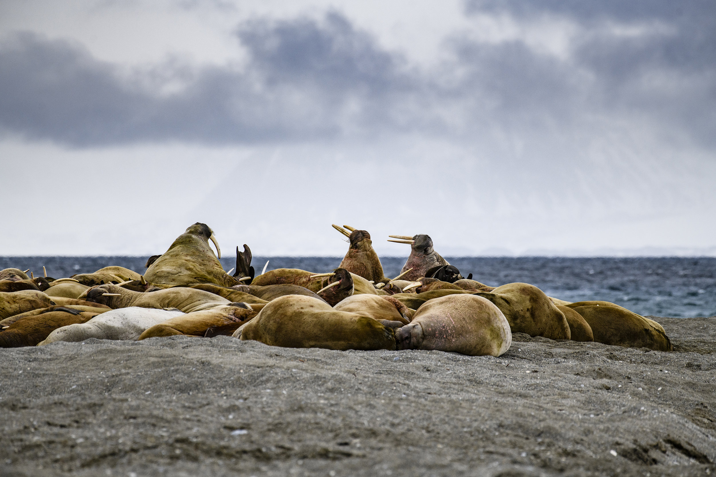 Huddle of walruses