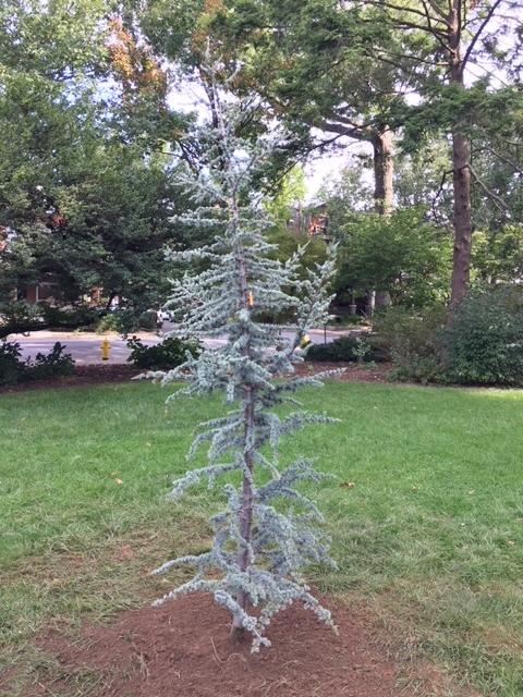 Blue Cedar
