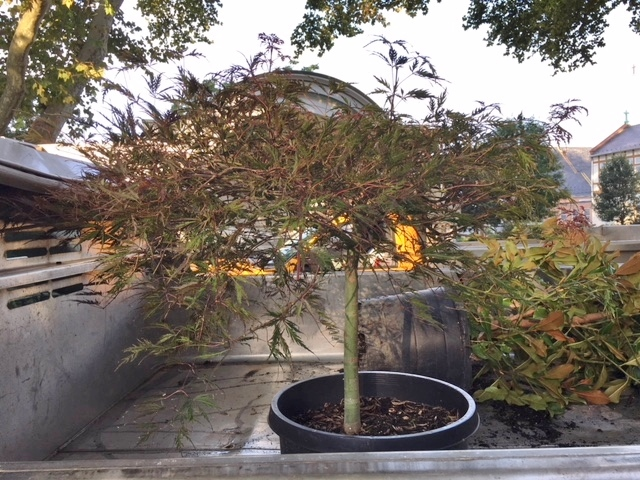 Cutleaf Weeping Japanese Maple
