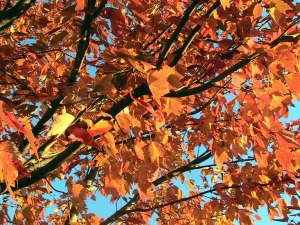 red-maple-tree-in-autumn-fall-300x225.jpg