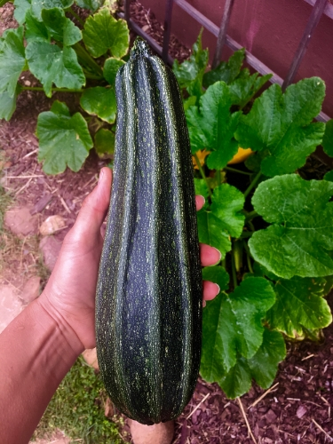 The first of many monster zucchini grown in my garden.
