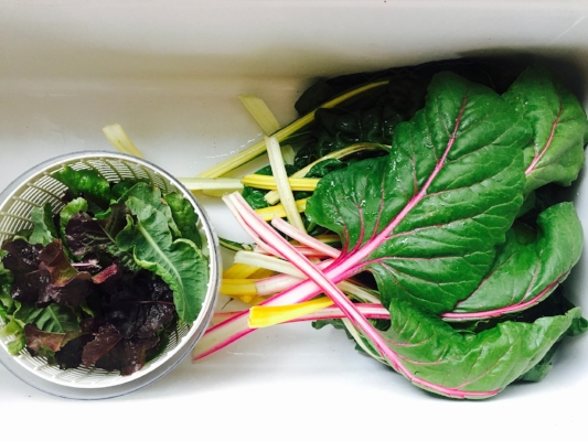 Lettuces & Rainbow Chard...straight from the garden and into my belly!