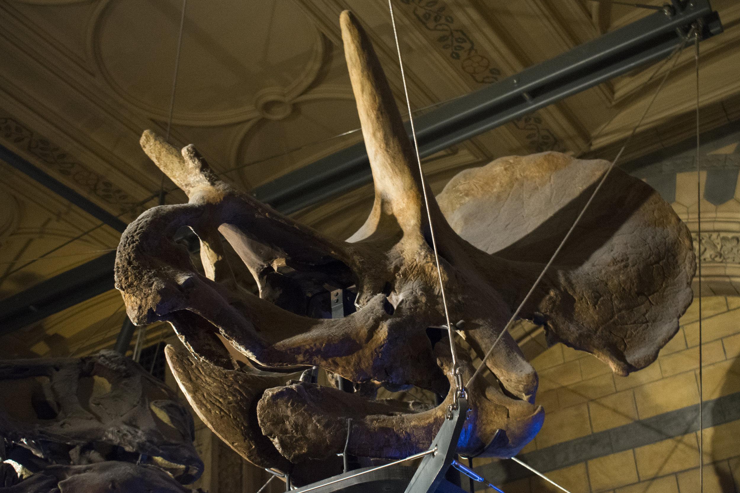 Ceratopsian Skull.jpg