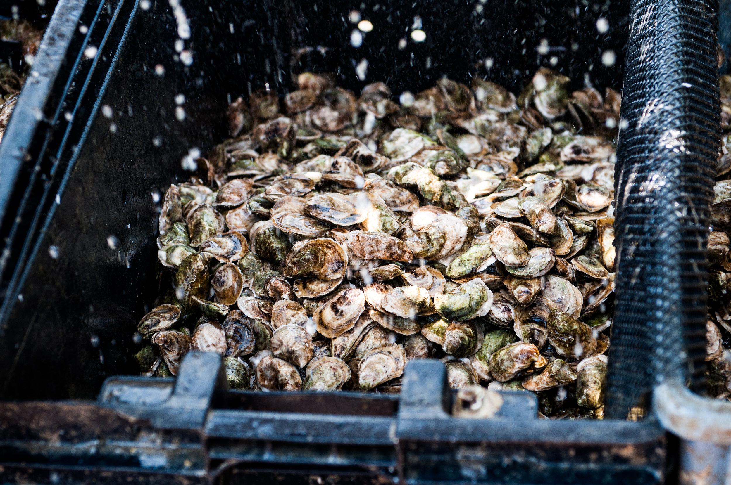 Season's Best - Oysters