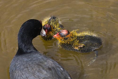 Coot chicks.jpg