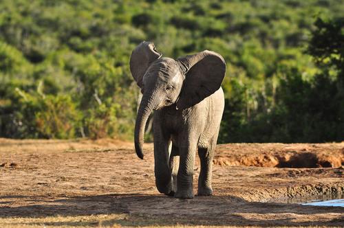 elephant-calf.jpg