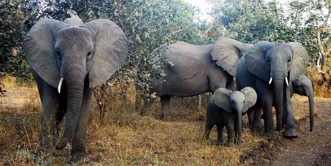 Elephants_01.png