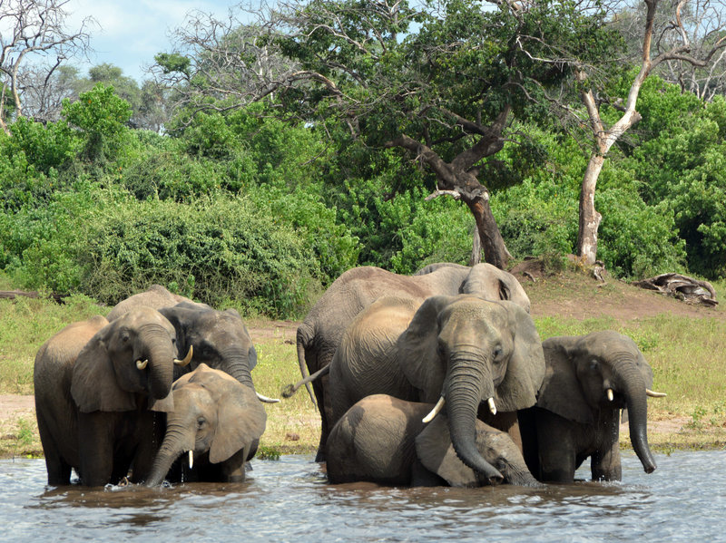 Elephants in the Chobe National Park in Botswana. Eighty-seven elephant carcasses were found in the country, months after it disarmed its anti-poaching unit.  Charmaine Noronha/AP