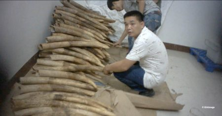 Caught on hidden camera – members of the Shuidong syndicate show undercover EIA investigators their illegal ivory stash