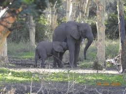 Human-influenced natural selection has resulted in many elephants being born without tusks. (Ryan Long)