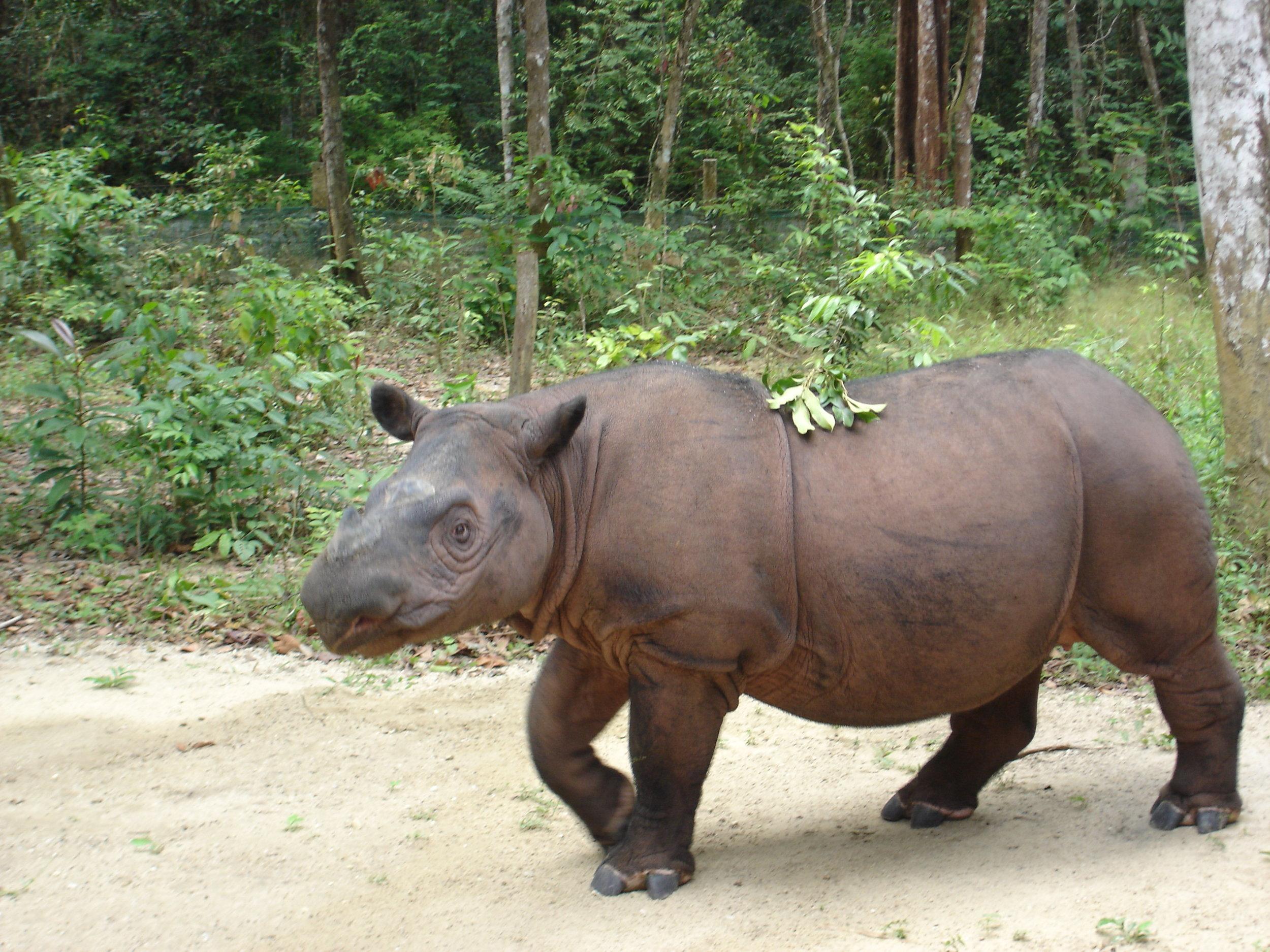 Sumatran_Rhinoceros_at_Sumatran_Rhino_Sanctuary_Lampung_Indonesia_2013.jpg