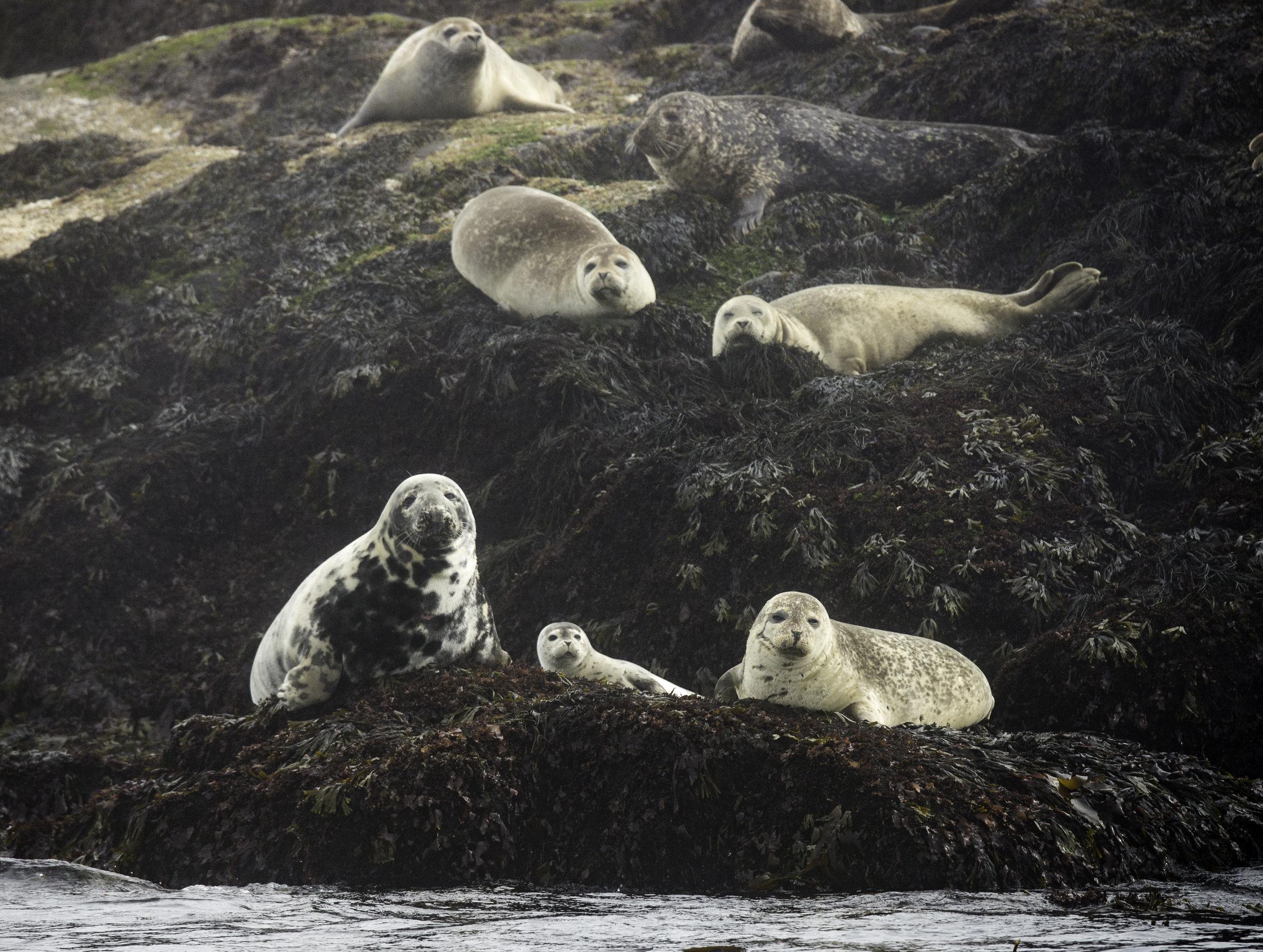 Harbour seals, Passamaquoddy Bay
