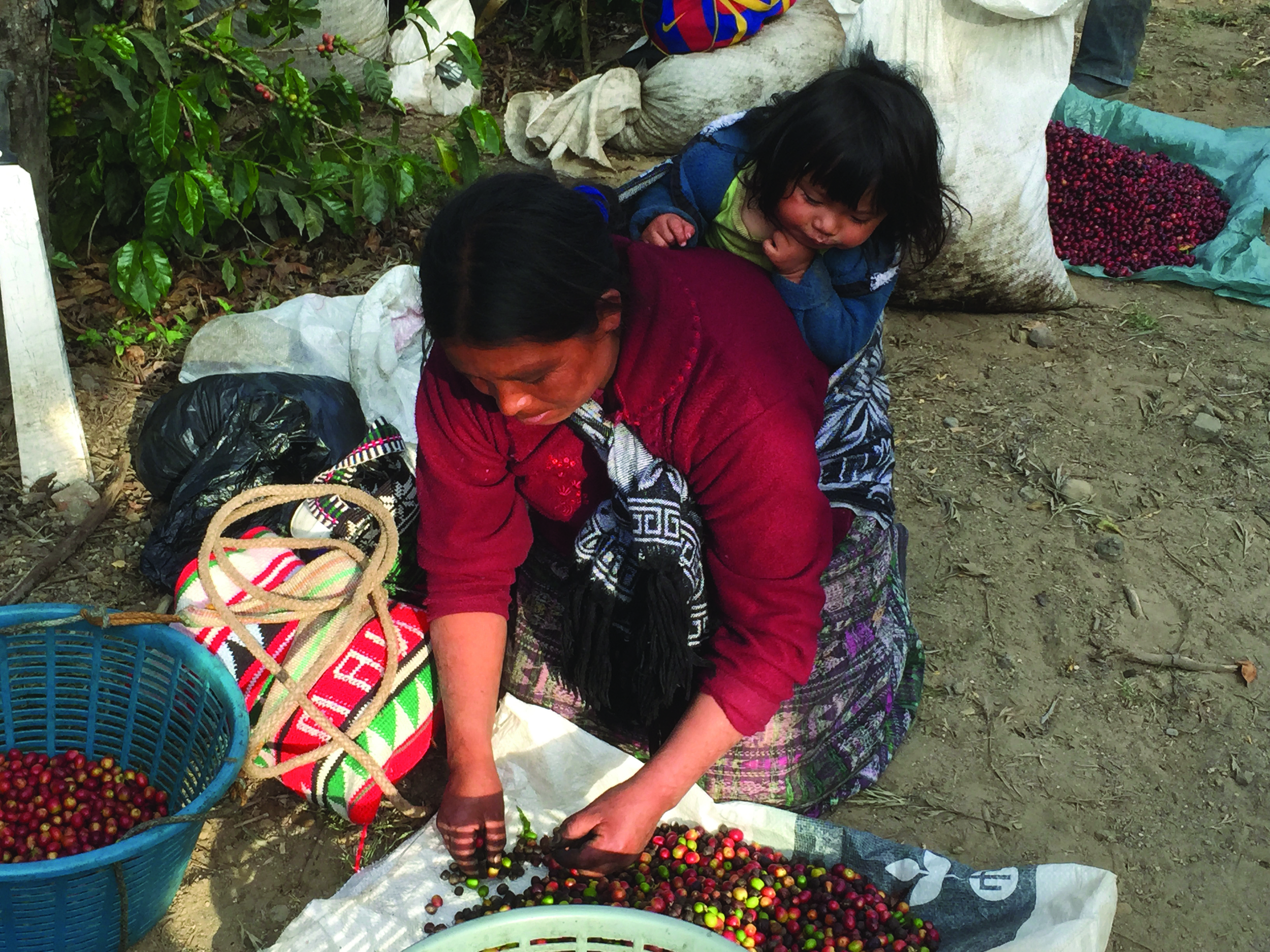 A Mayan coffee harvester hand-selects cherries in Antigua, Guatemala.