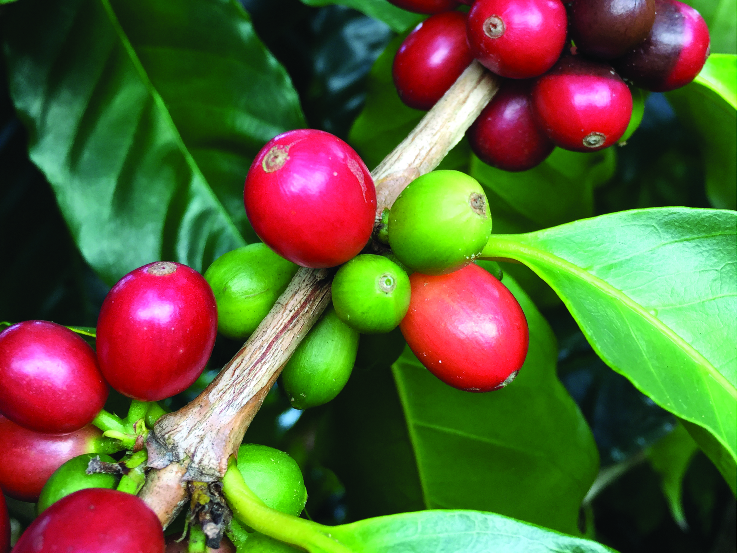 Cherries, the fruit of the coffee plant, ripen at Finca Carolina, a farm in Chinchina, Colombia.