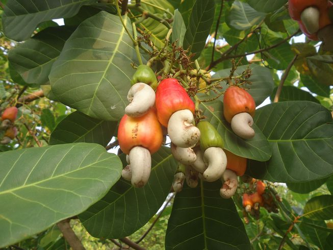 Cashew-hanging-from-tree.jpg.653x0_q80_crop-smart.jpg