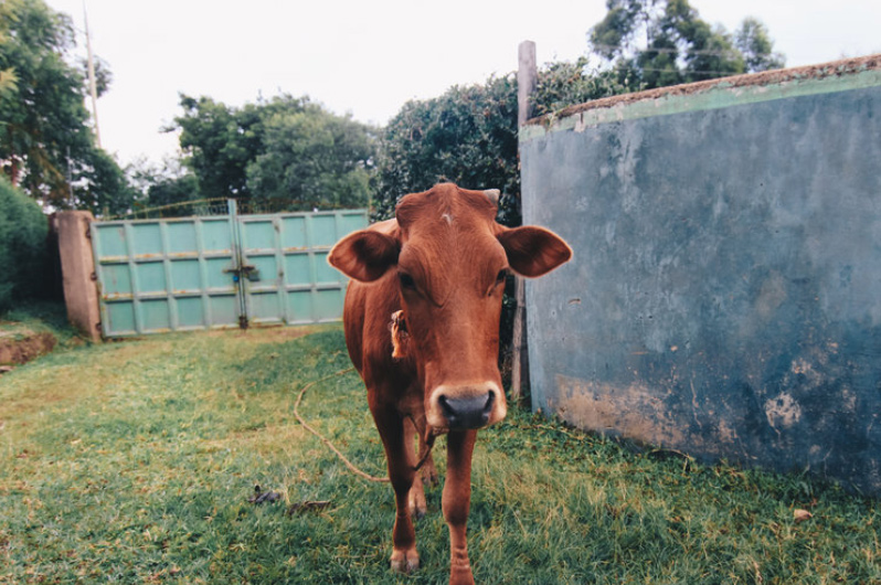 kenya-journals-cow-crossbar.jpg
