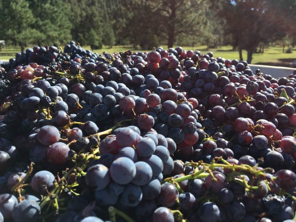 Beautiful zinfandel grapes awaiting stemming and pressing for the 2016 Sheehan Winery vintage.