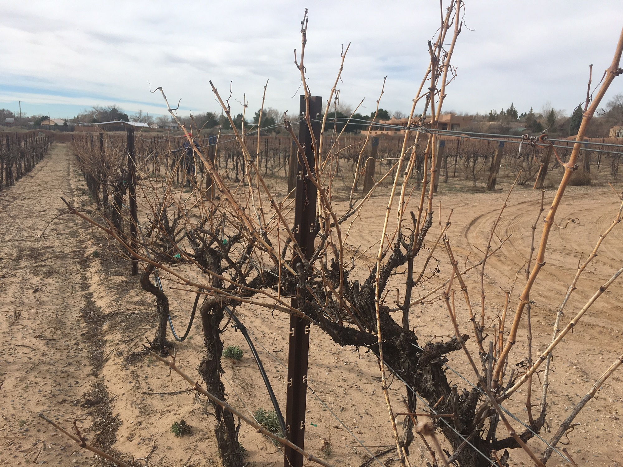 The vines are wild and have long unruly canes. The canes need to be pruned to control the growth for next springl