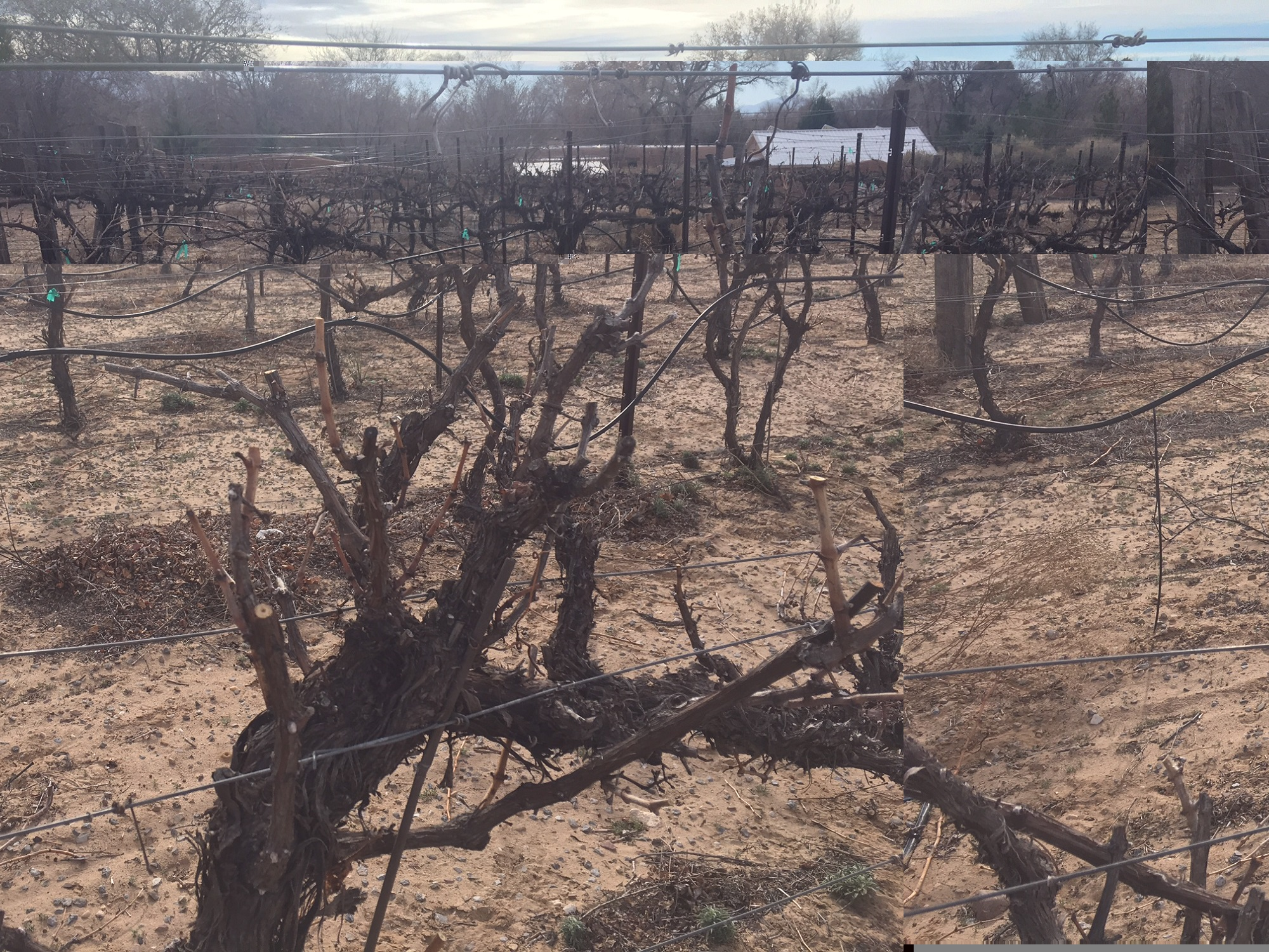 After pruning, the vines are symmetrical and even. Pruning will allow the vines to grow a good crop of grapes without too many branches and too many leaves.