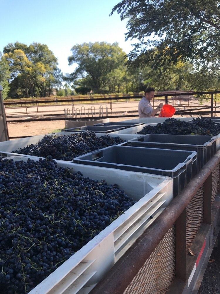 An awesome harvest - Wimemaker Sean Sheehan with Chambourcin grape harvest 2017
