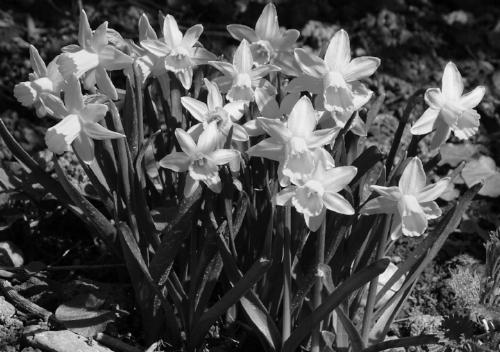 B & W Daffodils.jpg