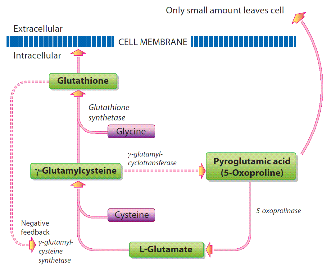 Figure 3a: Metabolism of GSH in the absence of a toxic acetaminophen load.(Click for larger view)