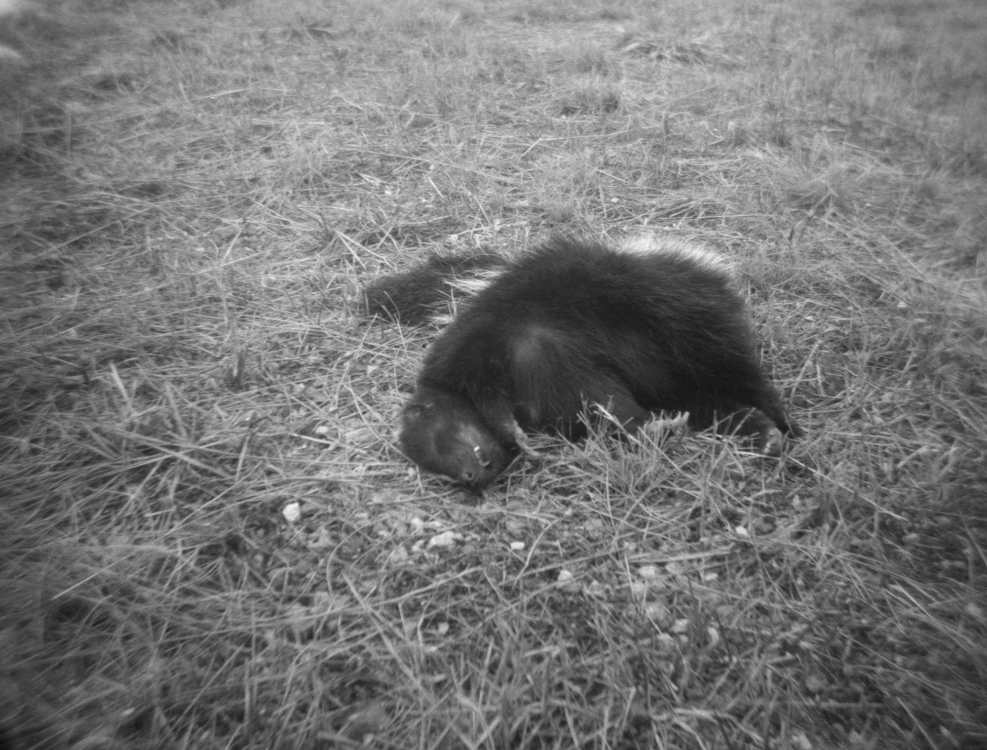 Skunk in the Field