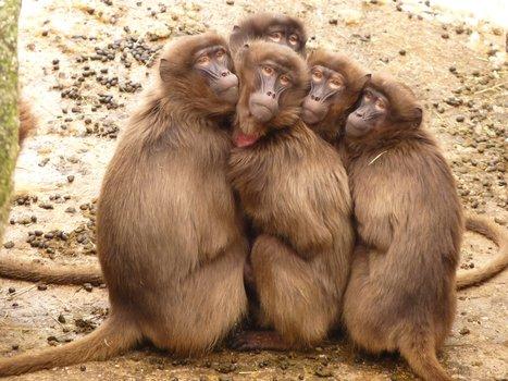 babboon huddle.jpg