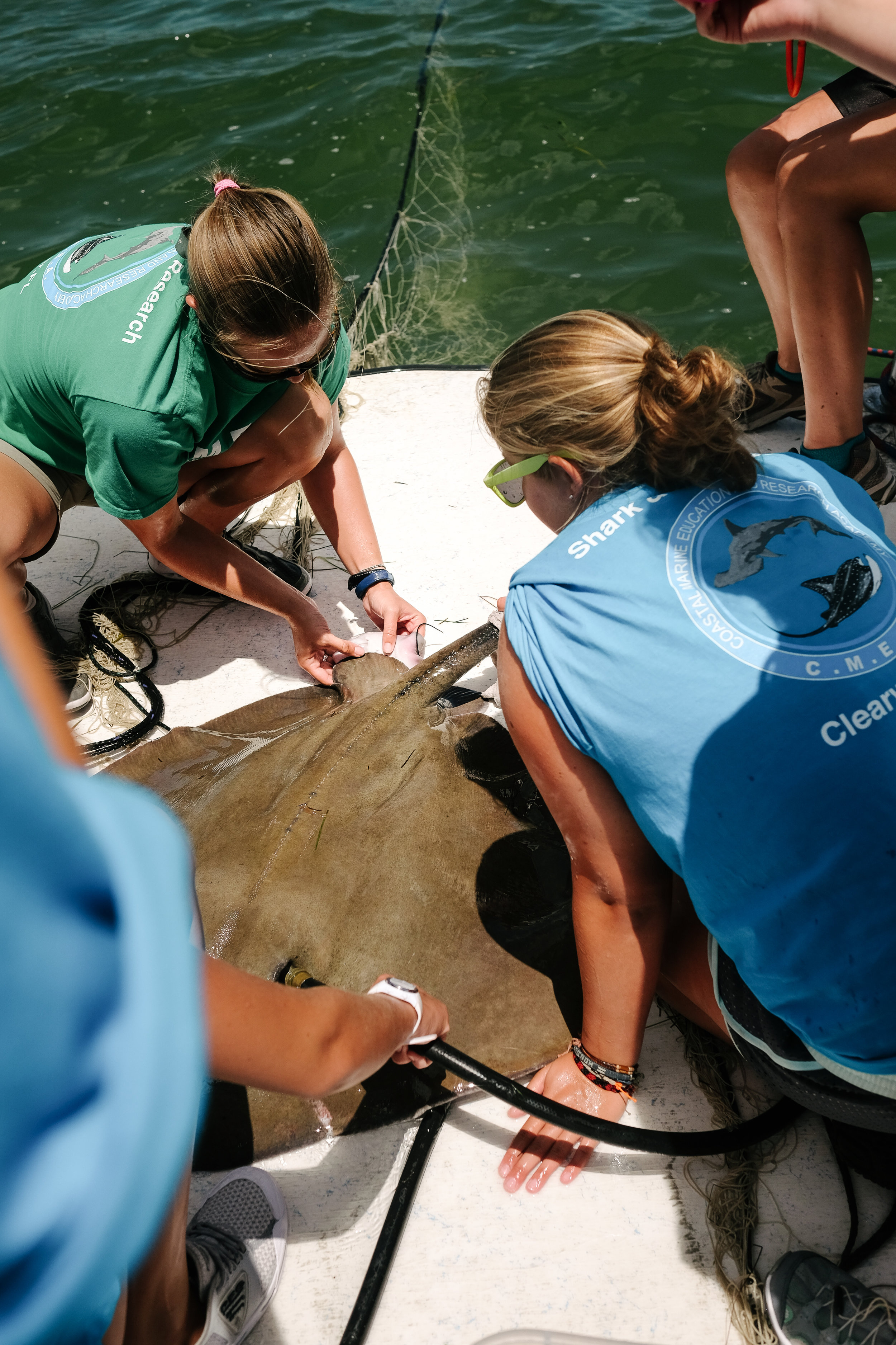 Babies on board! Marine Biologist Moriah Moore delivers baby southern rays on a CMERA excursion just offshore in Dunedin, Florida.