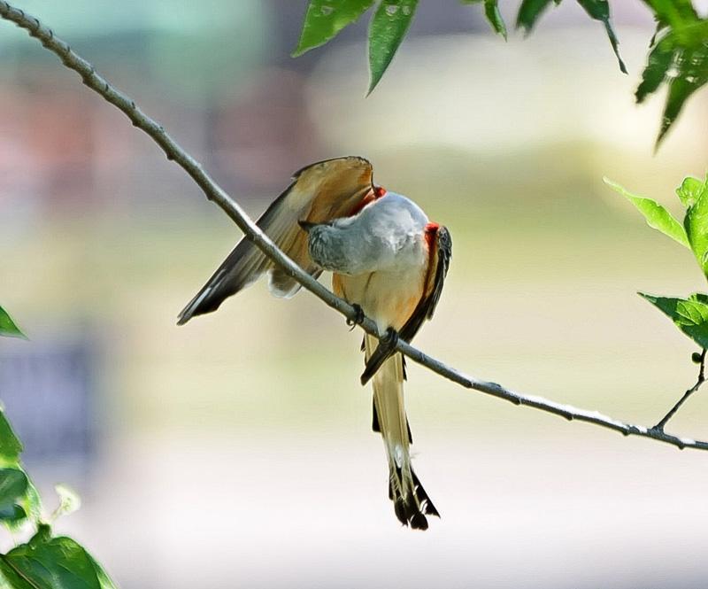 Scissor-tailed Flycatcher 2