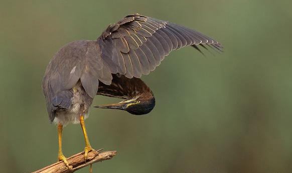 Green Heron 4
