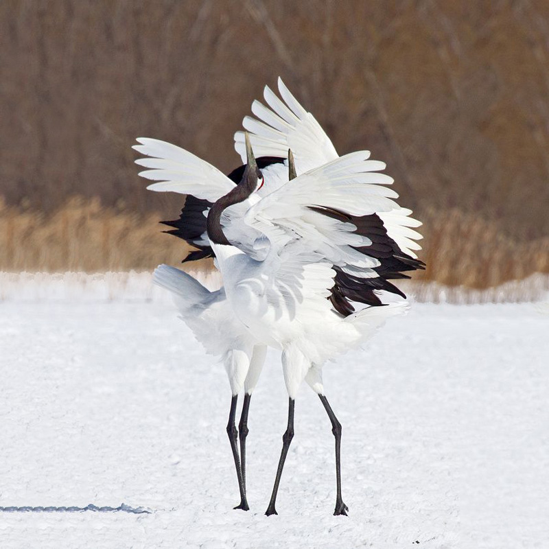 Red-Crowned Crane 4