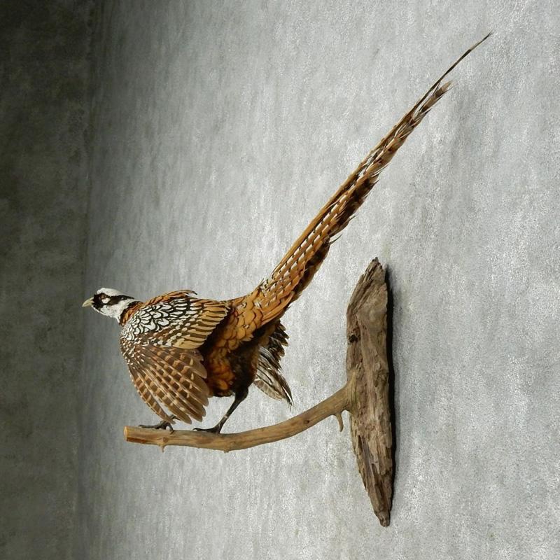 Pheasant 6
