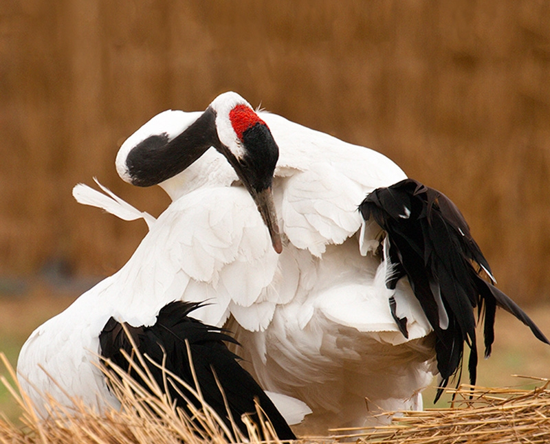 Red-Crowned Crane 2