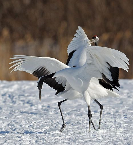 Red-Crowned Crane 6