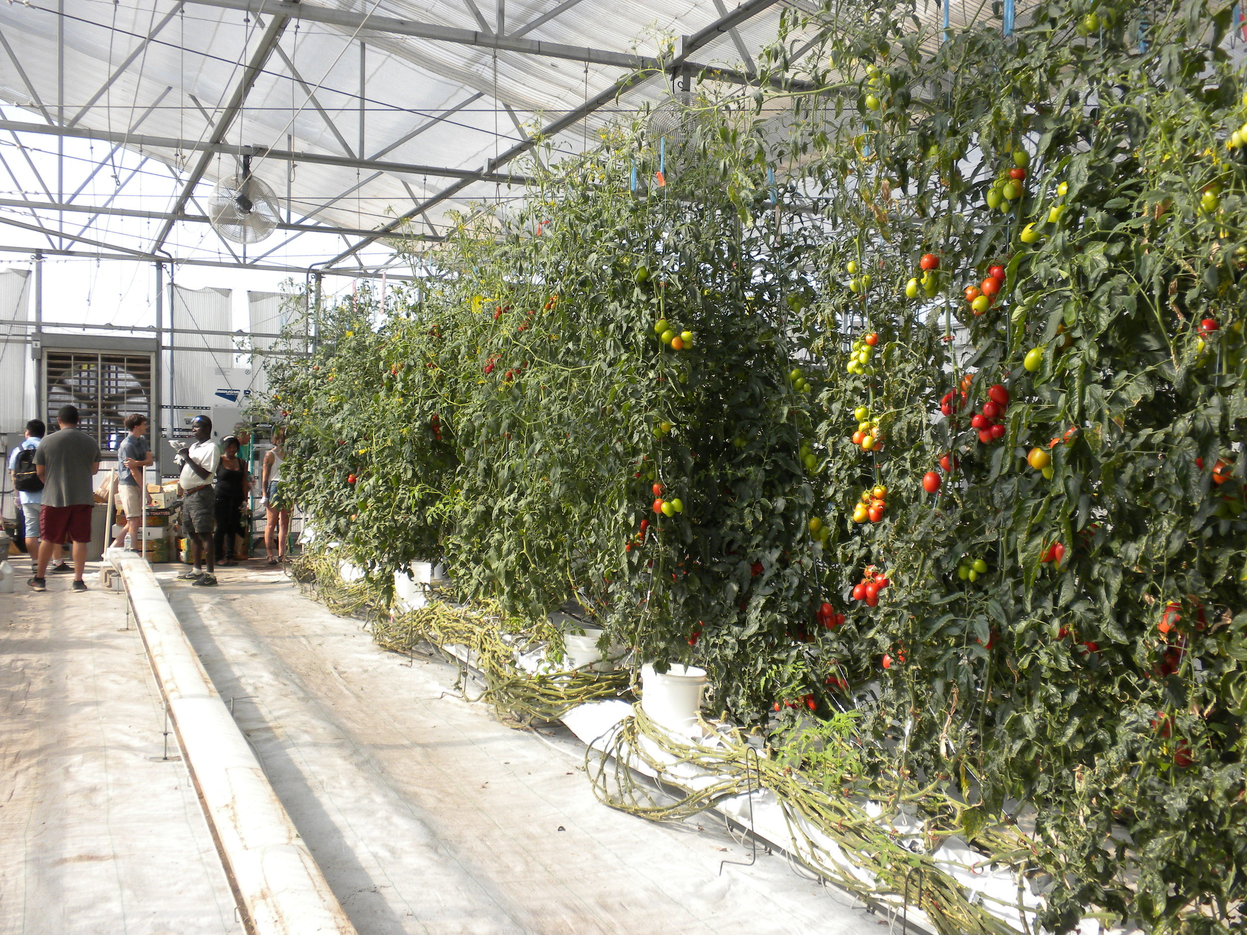 Harvest together - the group spent all morning harvesting hundreds of tomatoes