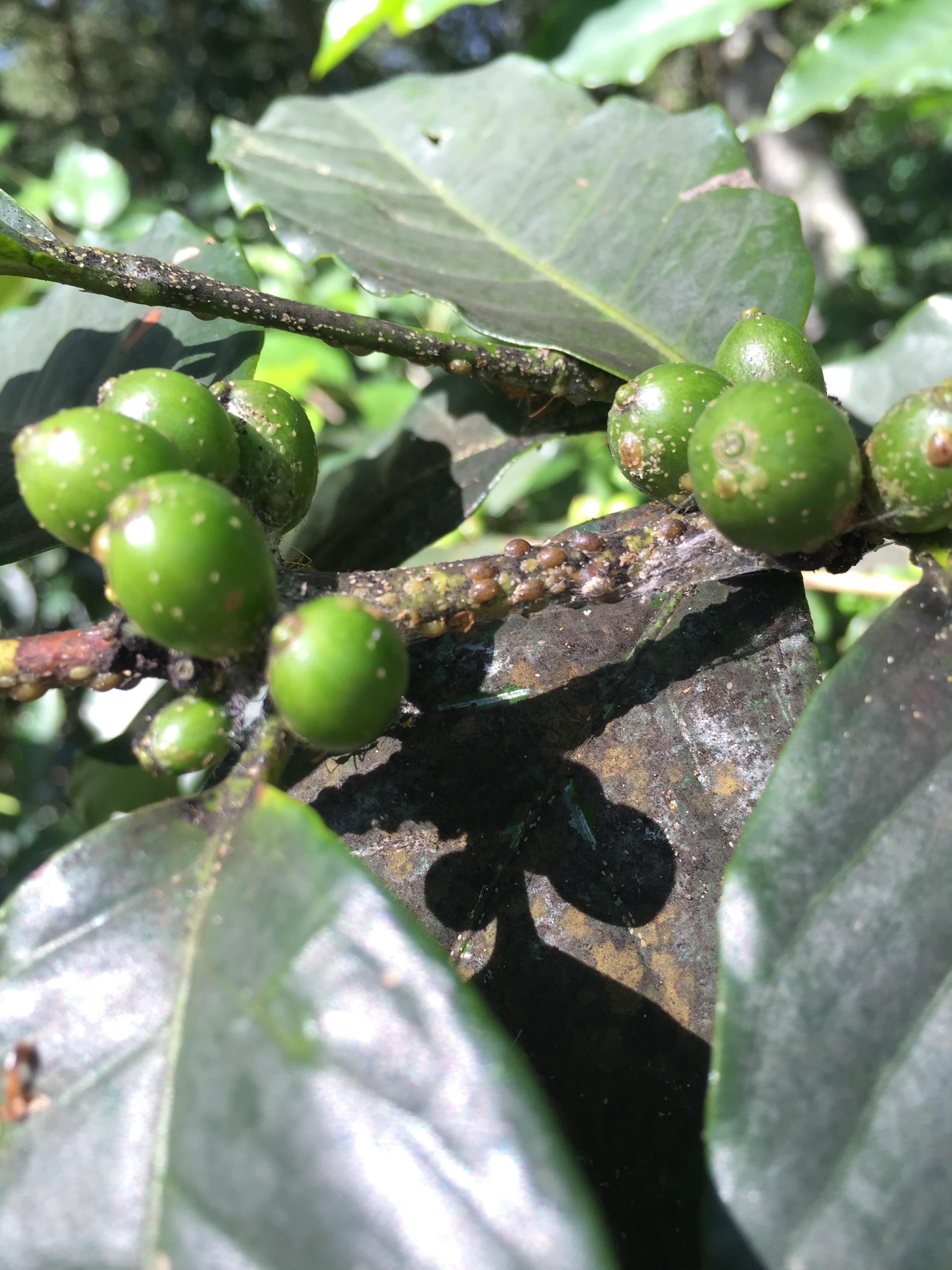 Coccus Viridis -Green Coffee Scale Disease