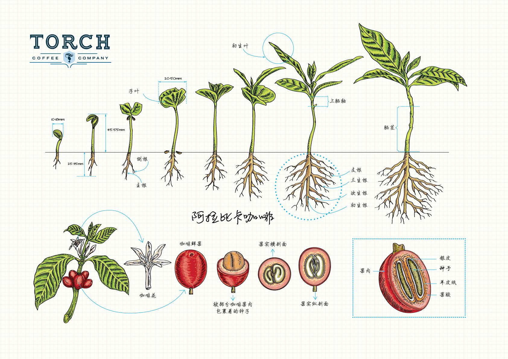 Coffee_Plant_FAOL.png