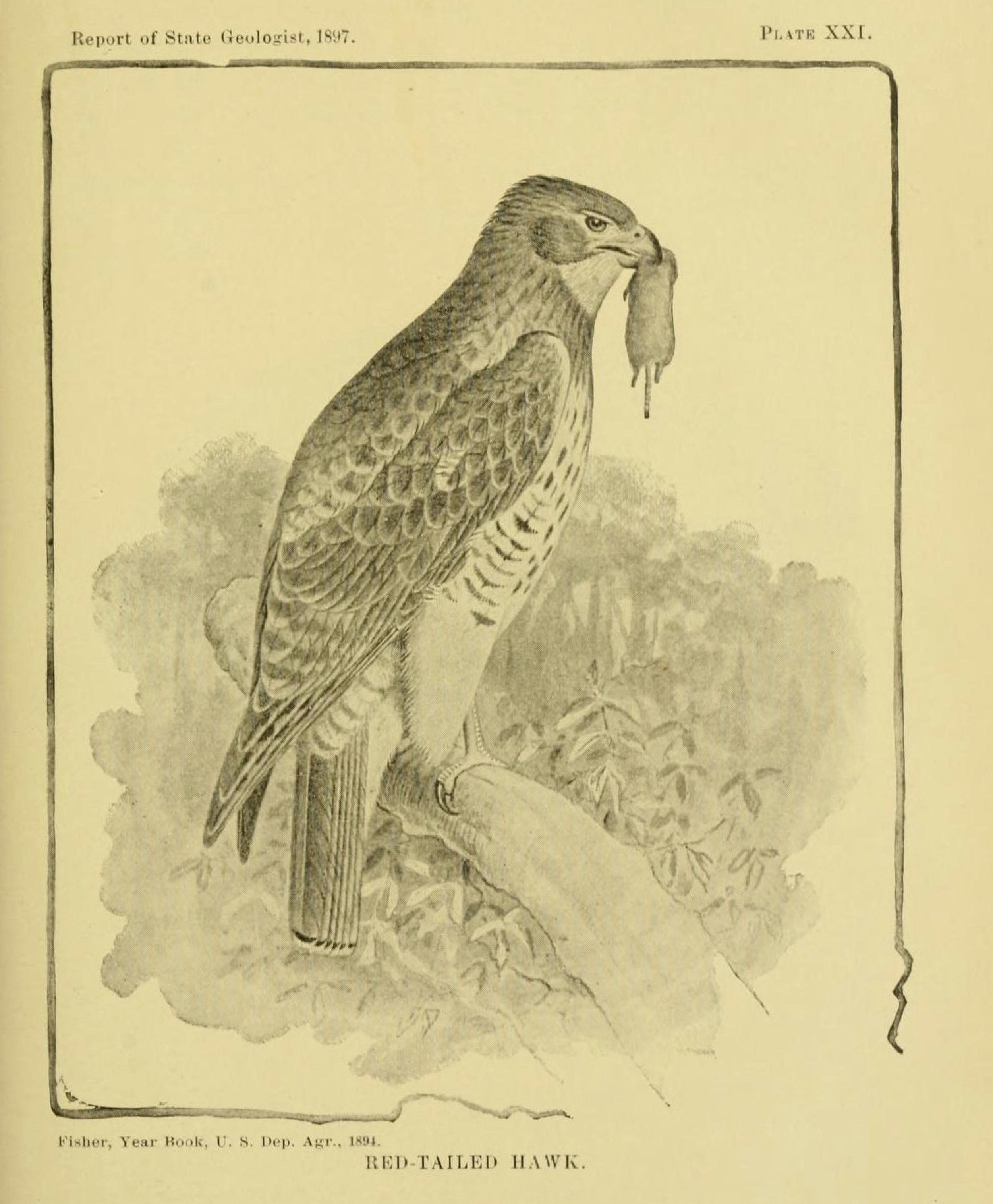 Buteo_jamaicensis_-_Birds_of_Indiana_1898.jpg