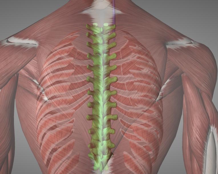Picture of the thoracic vertebrae.