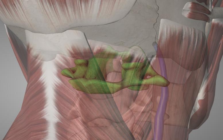 "First cervical vertebra (green)aka ""atlas"""