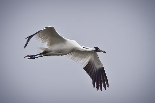 Whooping Crane in flight in Texas.  USDA Photo by John Noll