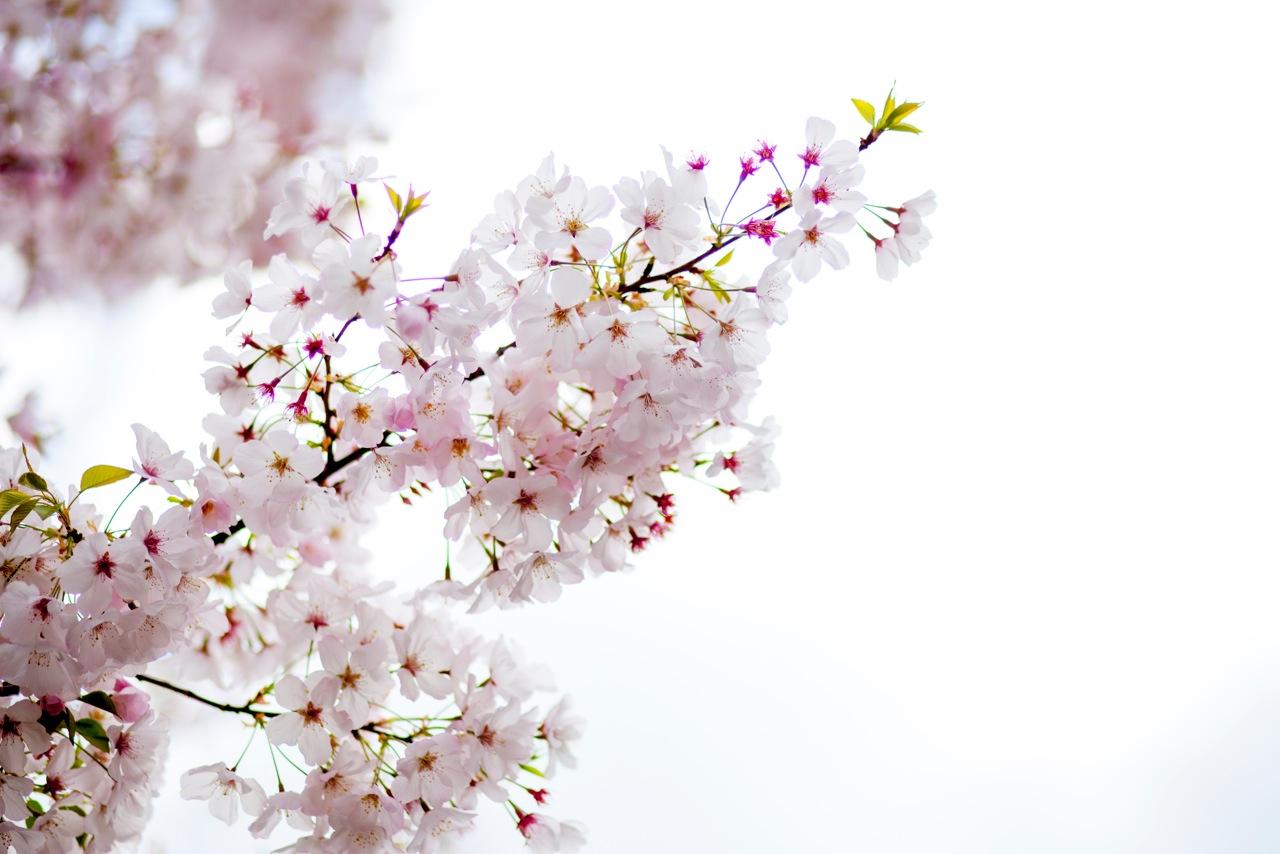 cherry blossom tree.jpeg