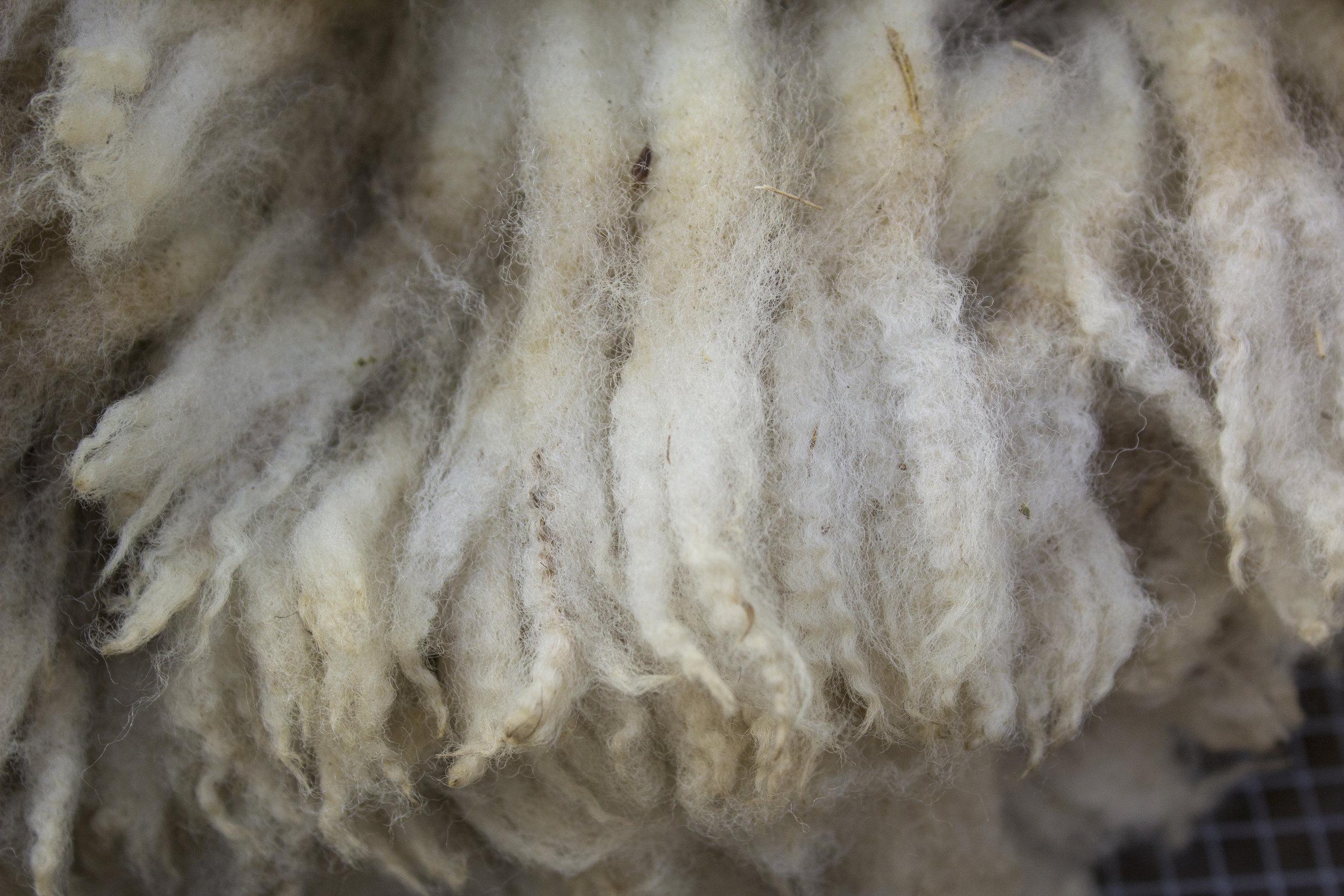Clun Forest fleece
