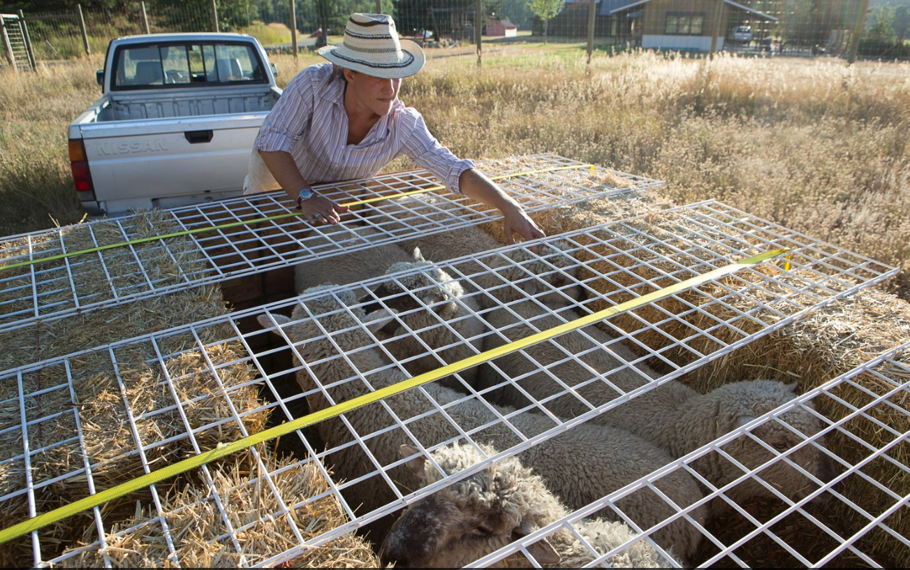 Mary prepares to open our improptu sheep trailer after we've moved them over to a pasture we share with neighbors.
