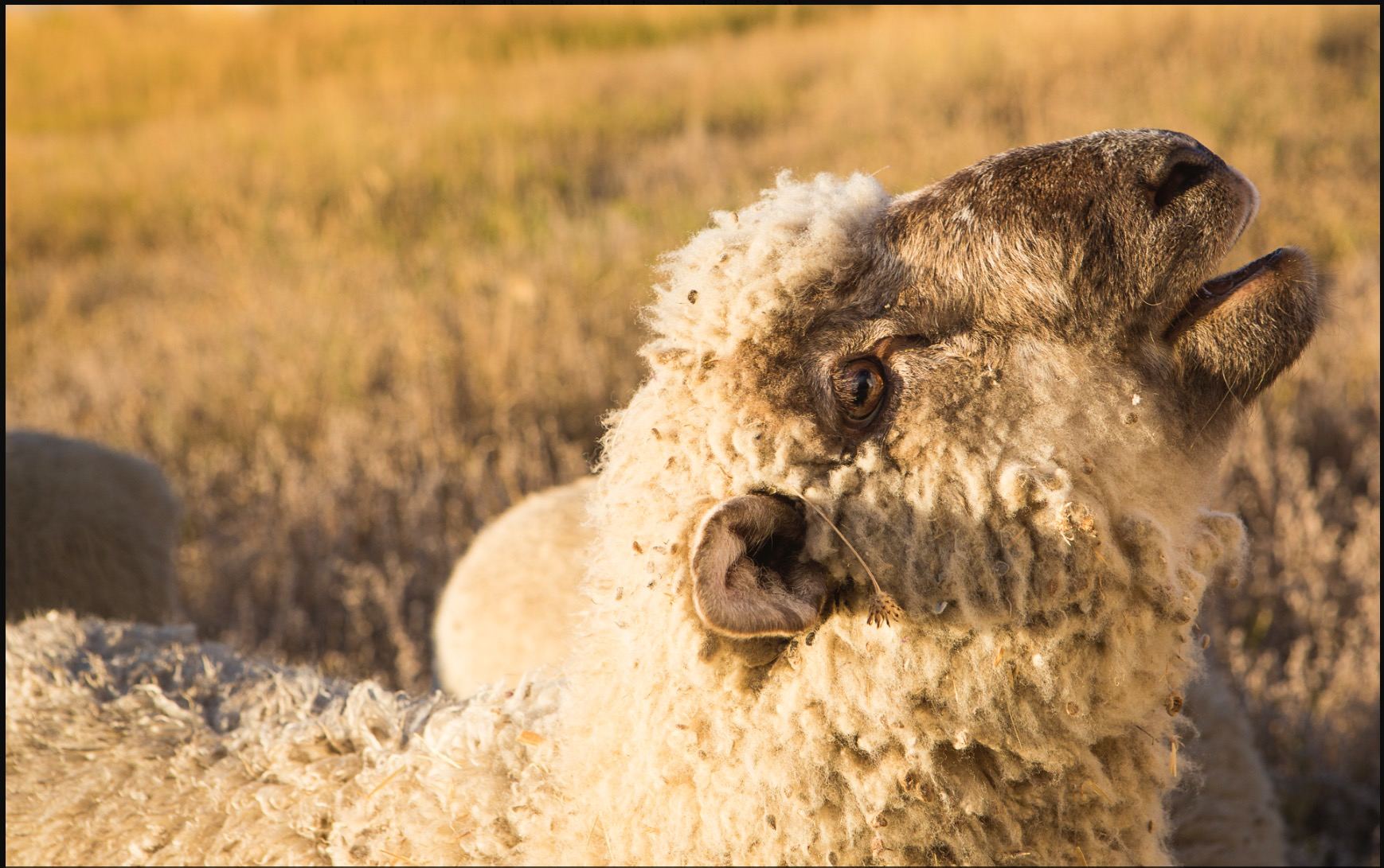 """We call this member of our flock """"The President,"""" affectionately termed because the way this ram leads our entire flock and comes running to us."""