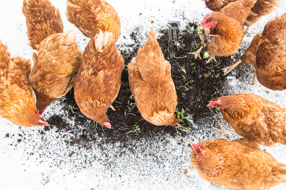 Even with the temperatures are single digits, some chickens head outside to forage. In this image, a select strike force has been encouraged with stems and leftover cuttings from harvested micro greens for sale in our farmstore.
