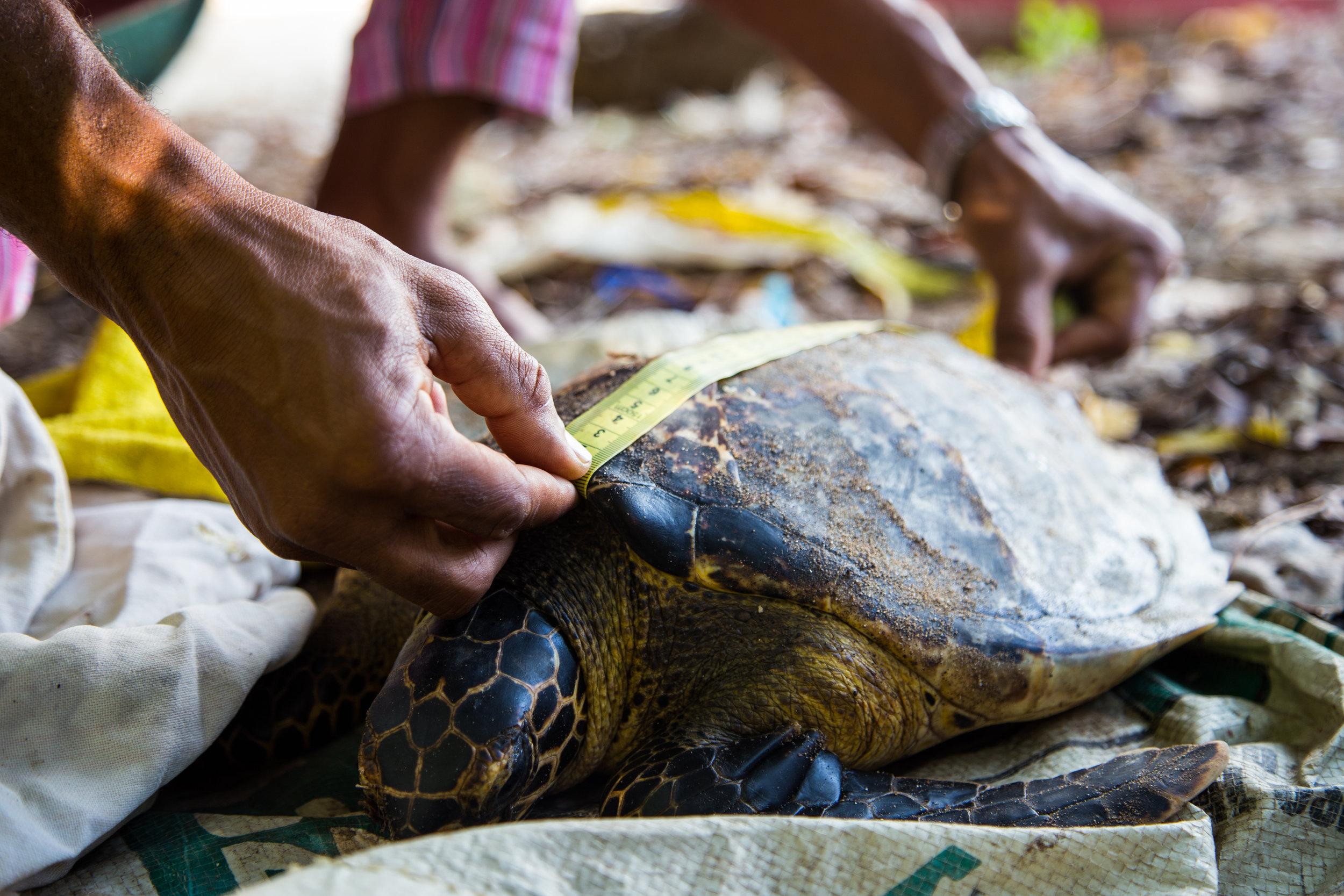 Local Ocean Trust Kobe Surf Turtle Rehabilitation
