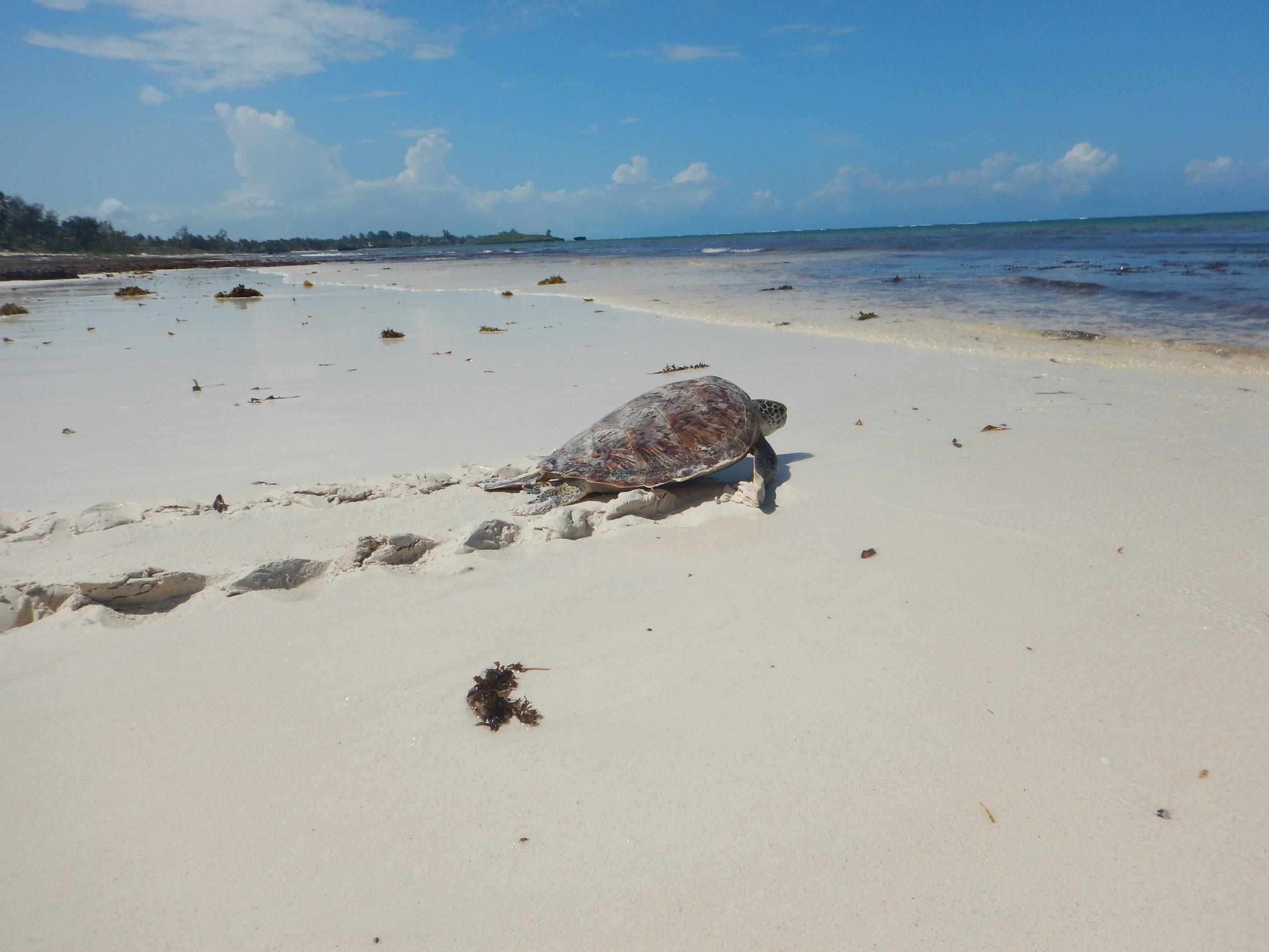 Local Ocean Trust Kobe Surf Turtle Conservation Turtle Rehabilitation