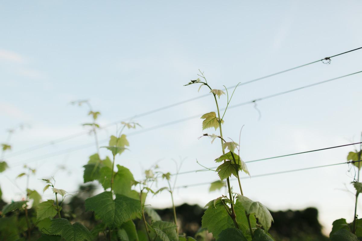 Upper-Shirley-Vineyards-Engagement-39.jpg